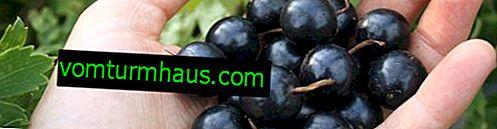 Kultivary černého rybízu Globus: vlastnosti a vlastnosti kultivace