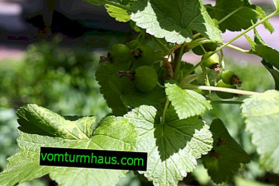 Fight against diseases and pests of blackcurrant