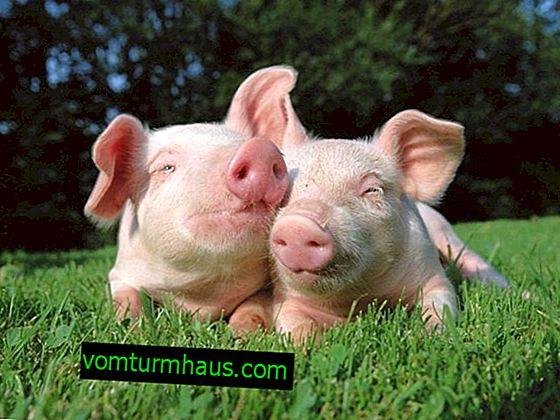 Estuche de cerdo