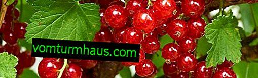 Röda vinbär generösa - sorts egenskaper