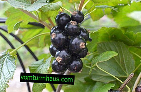 Wernisażowa odmiana czarnej porzeczki: cechy, cechy smakowe