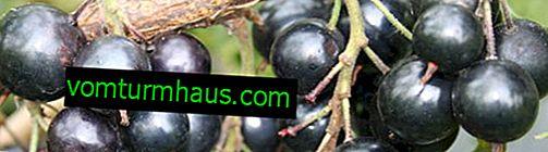 Dessert al ribes nero - le caratteristiche principali della varietà