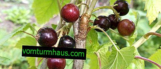 Černý rybíz Dar Smolyaninova: charakteristika odrůdy a vlastností kultivace