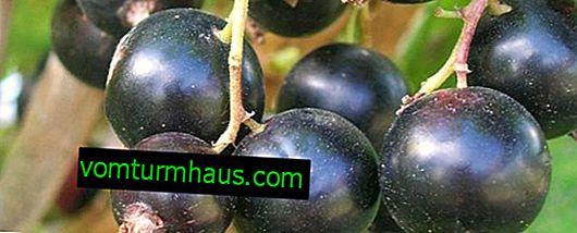 Groselha preta Ksyusha: as principais características da variedade