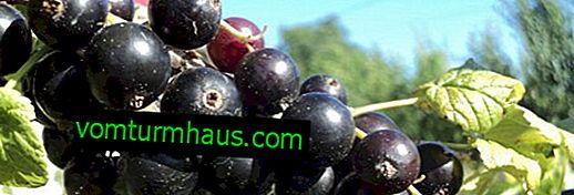 Ribes nero Ojebin - le principali caratteristiche della varietà