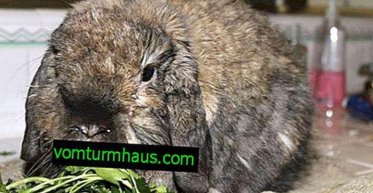 Pasteurellosi nei conigli: sintomi e trattamento