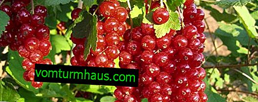 Rote Johannisbeere Cascade: die wichtigsten Merkmale der Sorte