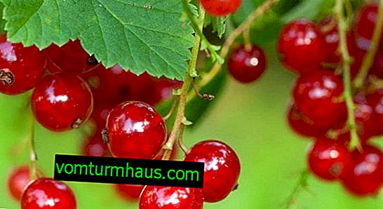 Sorter af alpin rødbær, funktioner, fordele og ulemper
