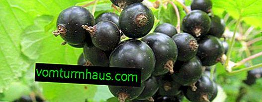 Black currant Chernavka - main characteristics