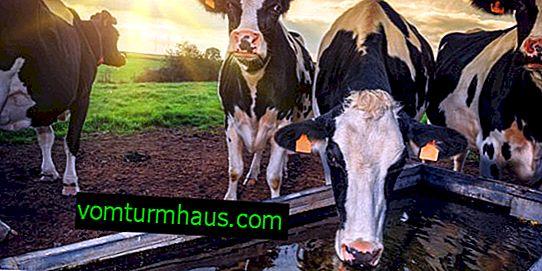 Qué bebe la vaca: cuántos litros de agua, qué hacer si la vaca no bebe