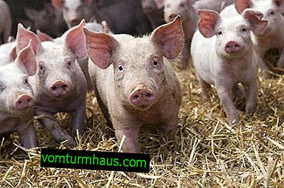 Landras - plemeno ošípaných: opis, vlastnosti chovu a kŕmenia