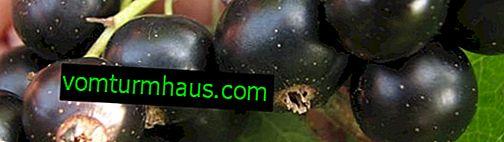 Grosella negra Nezhdanchik: las principales características de la variedad