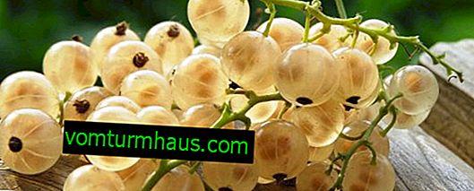 Hälsofördelar och skador på vitbär