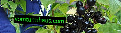 Tesoro de grosella negra: características principales