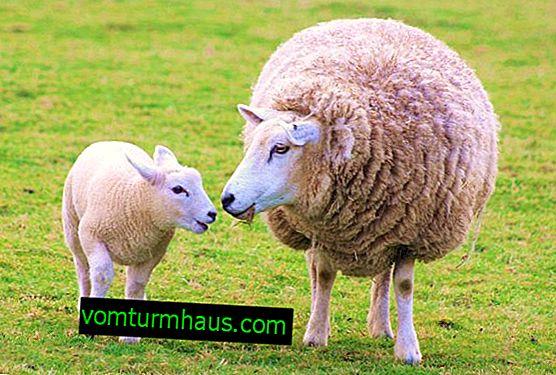 Koyun ve küçük kuzuların kenelerden korunması