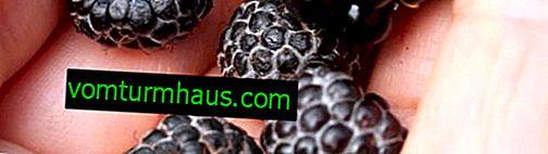 Sort juvel (sort juvel) - hindbær af aronia: beskrivelse, funktioner