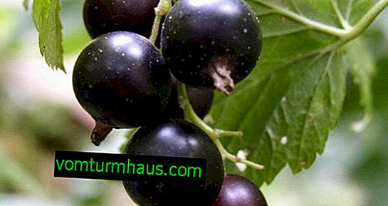 Blackcurrant variety Galinka: pros and cons
