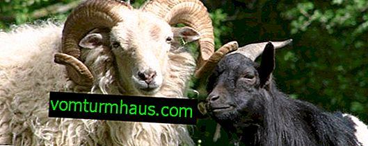 Smittkoppevirus hos får och getter: patogenens egenskaper, åtgärder för att bekämpa och förebygga