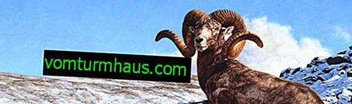 Opis, barvanje, lastnosti obnašanja altajskih gorskih ovac