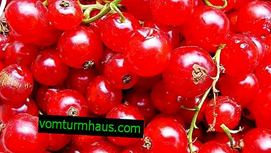 Rosetta red currant - main characteristics