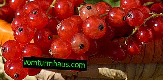 Red currant Sugar: the main characteristics of the variety