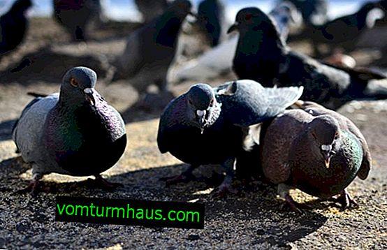 Gołębie ospy: leczenie i zapobieganie