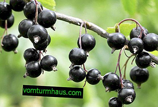 Schwarze Johannisbeere Ilya Muromets: Hauptmerkmale der Sorte