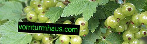 Ribez z zelenimi jagodami Smaragd (Smaragdna ogrlica): lastnosti