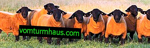 English Suffolk sheep breed: appearance, description of sheep and sheep breed