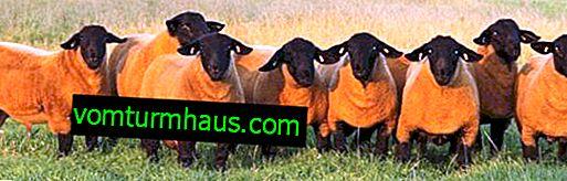 Inglés raza de ovejas Suffolk: apariencia, descripción de ovejas y razas de ovejas