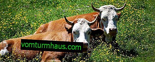 Značajke labavih krava