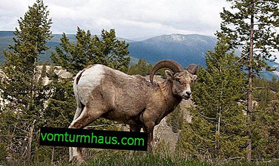 Средно тегло на овен: жив възрастен, колко тежи агнешки труп