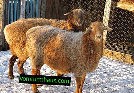 Co je to ovce s tlustým ocasem: plemena, charakteristické rysy