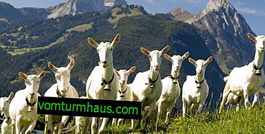La cría de cabras como negocio: rentabilidad, elaboración de un plan de negocios