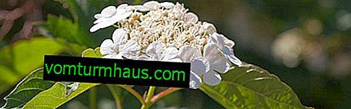 Medicinska egenskaper och kontraindikationer av viburnumblommor