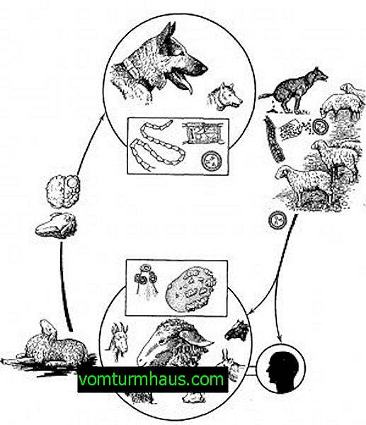 helminth ciklus