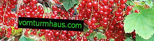 Red currant Ural souvenir - main characteristics