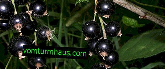 Sommerhäuschen mit schwarzen Johannisbeeren - die Hauptmerkmale der Sorte