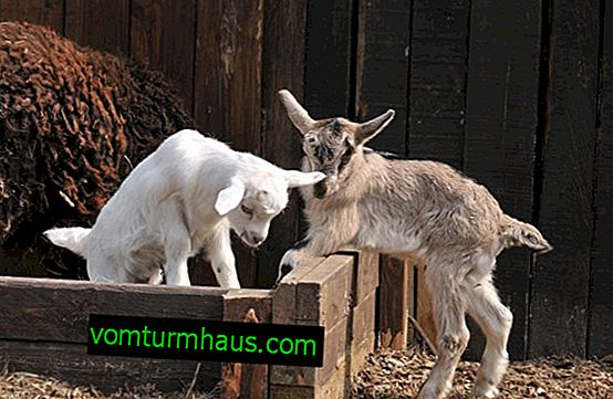 Průjem u koz: hlavní důvody, jak a jak zacházet s dospělými a dětmi
