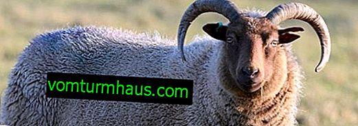 Kastrering av får: varför det är nödvändigt att göra, i vilken ålder, metoder och beskrivning