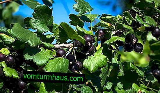 Касис, кръстосан с цариградско грозде - йоща: външен вид, характеристики