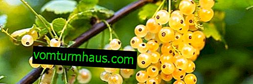 Golden currant cultivation