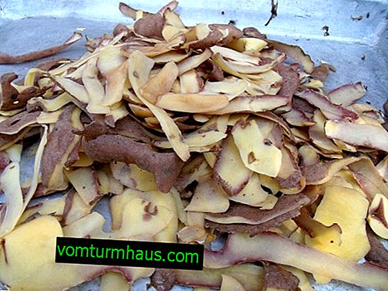 Topping up currants in spring with potato peelings
