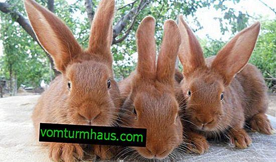 Novozélandské plemeno králikov: vlastnosti, vlastnosti chovu doma