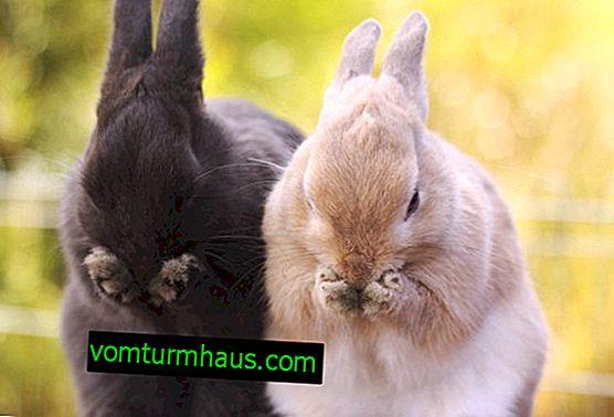 Varför nysar kaniner