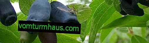Honeysuckle ätbar Lapis lazuli i midsäsongen - de viktigaste egenskaperna