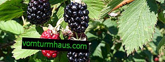 Cechy rosnących odmian jeżyn Apache