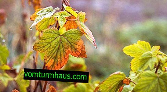 Pas på ripsbøsninger om efteråret
