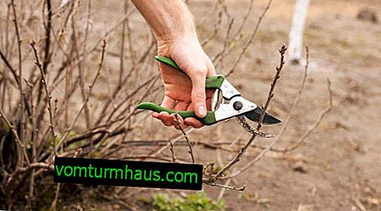 Hur man tar hand om vinbär- och krusbärbuskar på våren - grundläggande steg och regler