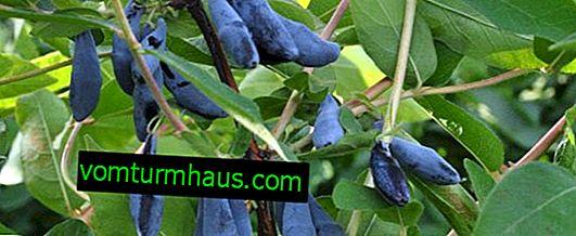Kaprifol ätbar kultivar Silginka - huvudegenskaper